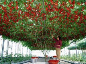 شجرة طماطم
