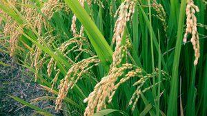 أرز الجفاف