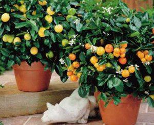 زراعة الليمون بالمنزل