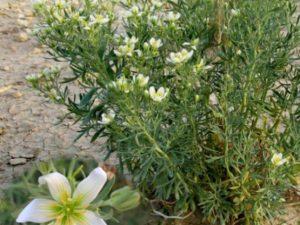 نبات الحرمل