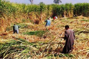 محصول قصب السكر