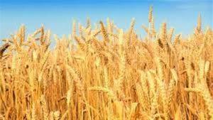 نبات القمح