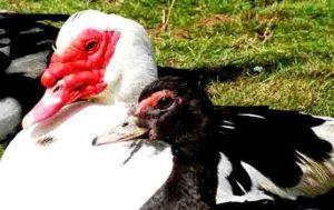 تربية البط المسكوفى