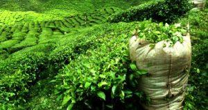 زراعة الشاى