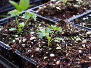 زراعة البقدونس بالمنزل