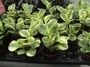 نبات الببروميا