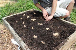 زراعة الزنجبيل فى حديقة المنزل