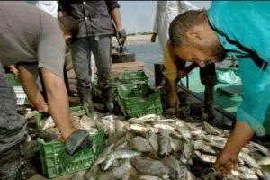 انخفاض الإنتاج السمكى فى بحيرة ناصر