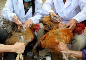الزراعة تدفع بـ240 فريق طبى لمكافحة إنفلونزا الطيور