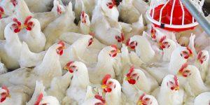 فيروس الليوكوزيس يهدد مزارع الدواجن