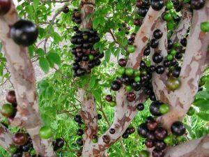 فاكهة الجابوتيكا