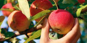 علامات نضج ثمار الفاكهة