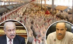إعفاء الدواجن المستوردة من الجمارك نهاية القطاع الزراعي