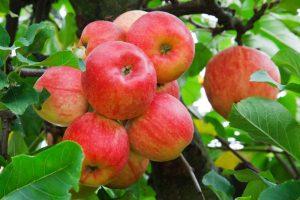 توصيات فنية لأشجار الفاكهة