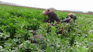 الزراع يفضلون نظام الزراعة التعاقدية