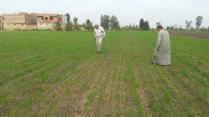 متابعة زراعات القمح بمحافظة الدقهلية