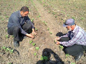 متابعة زراعة محصول الفول البلدى