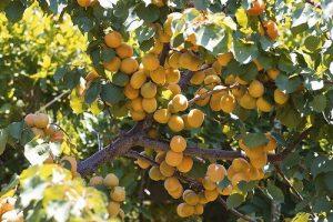 معلومات تهمك عن فاكهة المانجو