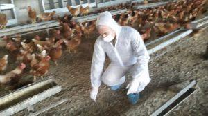 طوارئ في الزراعة بسبب سلالة جديدة لإنفلونزا الطيور