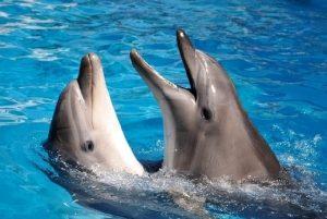 دلافين فى البحر الأحمر