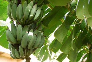 أشجار الموز
