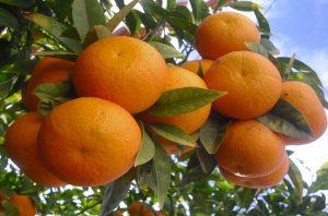زيادة التعريفة الجمركية على الفواكه والحمضيات