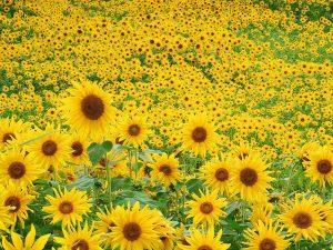 نبات عباد الشمس