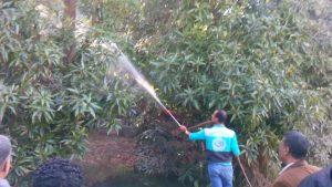 تجربة عملية للتخلص من العفن الهبابى على أشجار المانجو