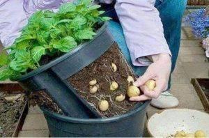 زراعة البطاطا فى المنزل 1-28-300x198