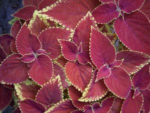 نبات البيجونيا ركس هيبريدا 11-5-300x225