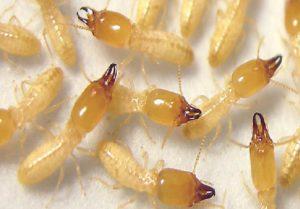 طرق الوقاية والعلاج من حشرة النمل الأبيض الفلاح اليوم