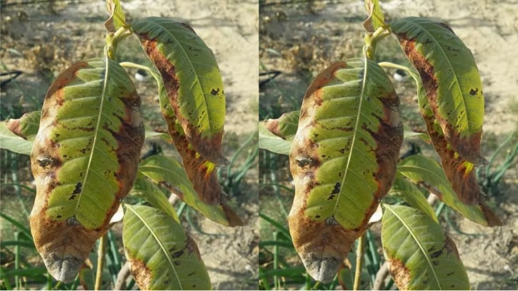 أعراض الملوحة على أوراق أشجار المانجو الفلاح اليوم